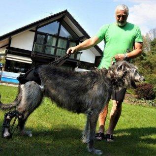 Irský vlkodav s ortézou pózuje s majitelem