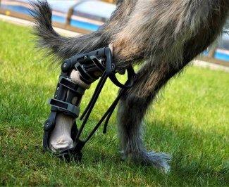 Irský vlkodav má na pravé zadní noze 3D vytištěnou ortézu